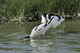Avocettes amoureuses