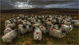 Moutons surpris en plein conciliabule...